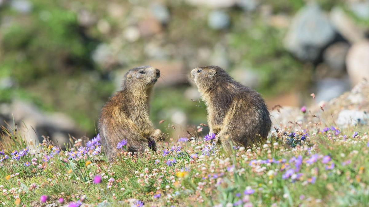 """Young Marmots"""